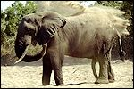 An elephant counteracts with mud and sand baths which cool, protect and get rid of unwanted insects.